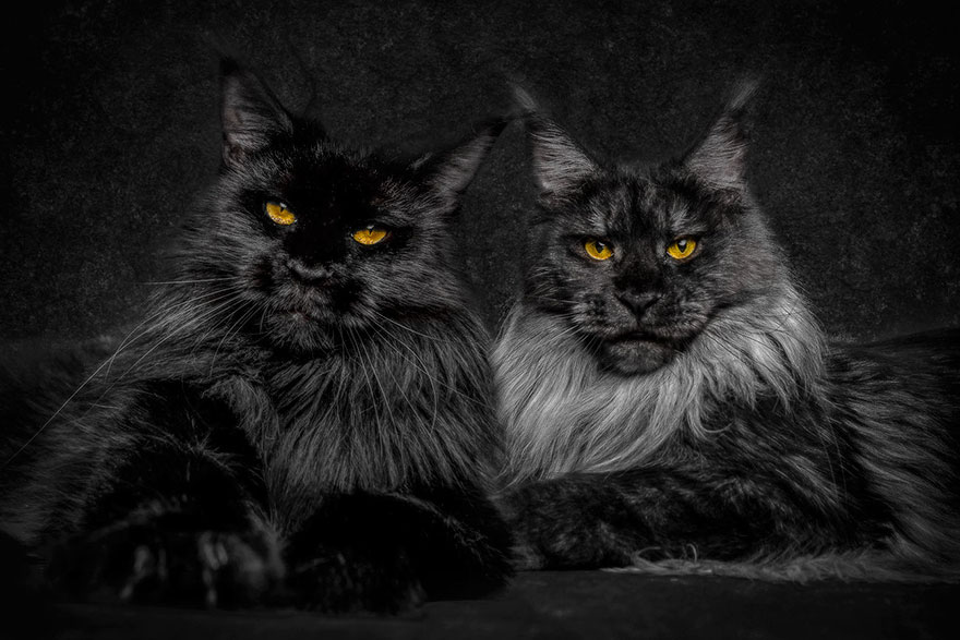 maine-coon-cat-photography-robert-sijka-33-57ad8ef5a723b__880