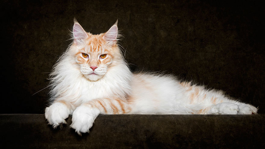 maine-coon-cat-photography-robert-sijka-52-57ad8f15b8efc__880