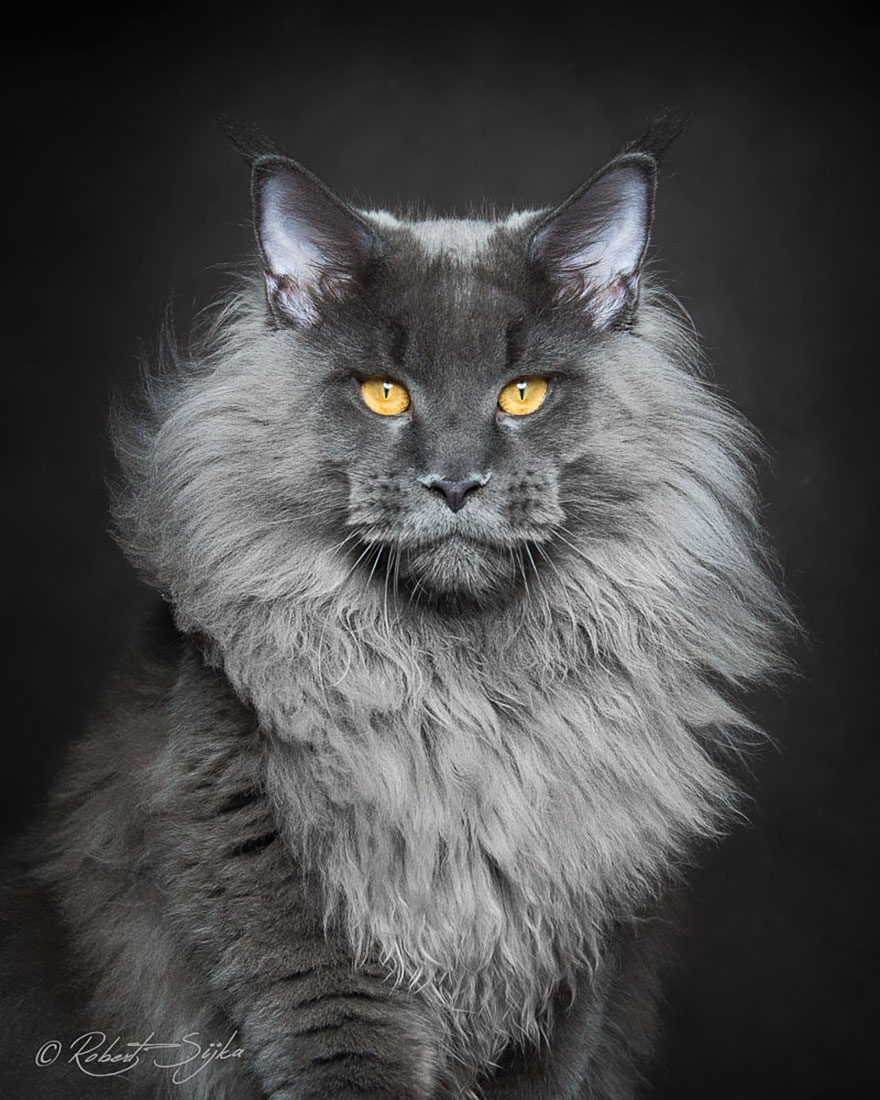 maine-coon-cat-photography-robert-sijka-64-57ad8f2c0277c__880